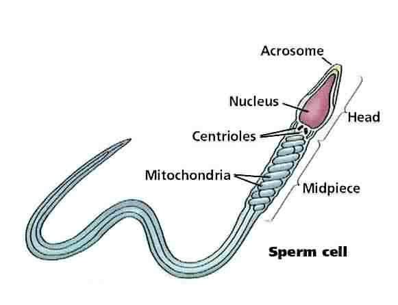 Sperm cell - Analytical Wiki