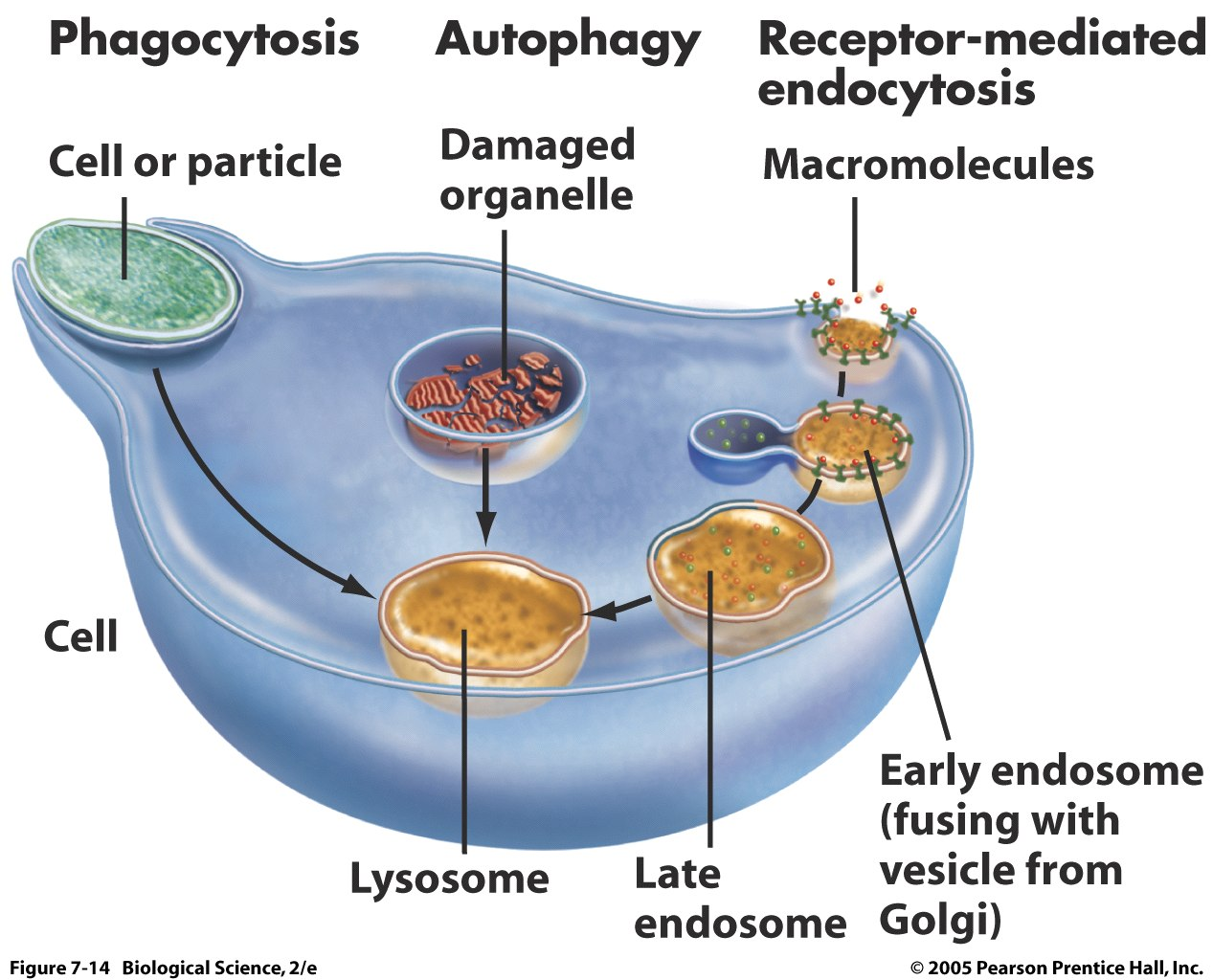 Biology Pictures: The Role of Lysosome