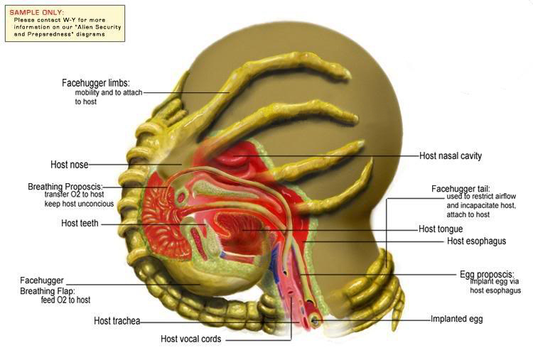 http://images.wikia.com/avp/images/b/b1/Facehugger_Diagram.jpg