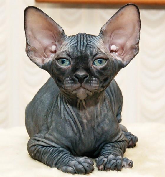 [Image: Canadian-sphynx-cat-1-.jpg]