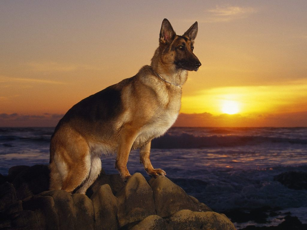 German-shepherd-training.jpg