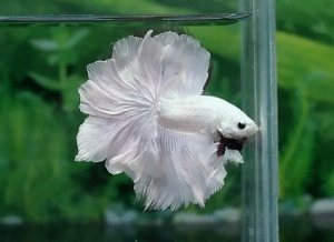 My betta is a rosetail and i think he has rare colouring for Rare types of betta fish