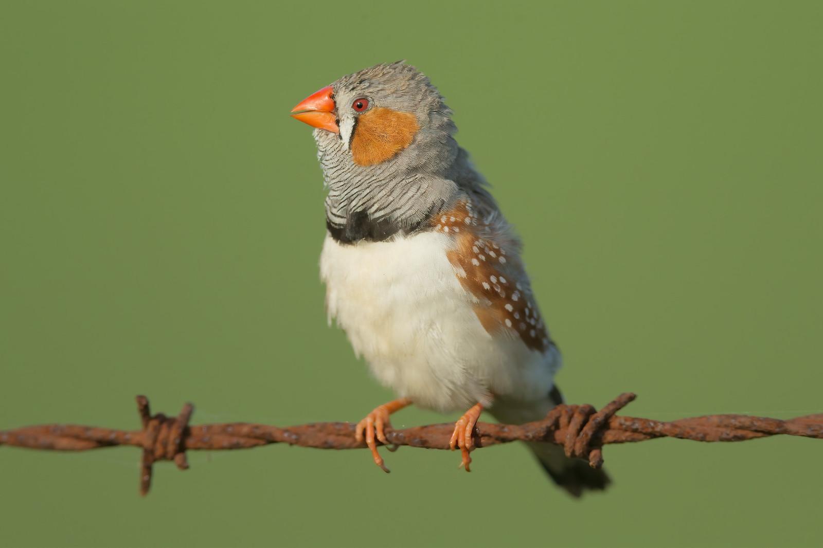 http://images.wikia.com/birds/images/e/eb/Zebra-finch-0008.jpg