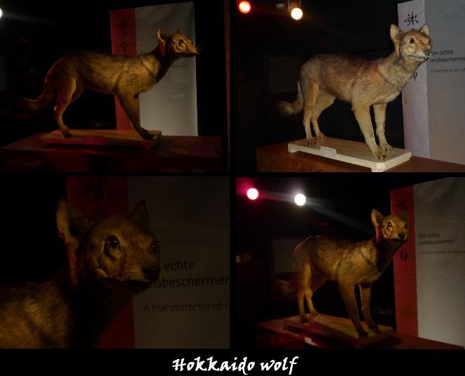 Hokkaido Wolf(Extinct) - Canid Wiki