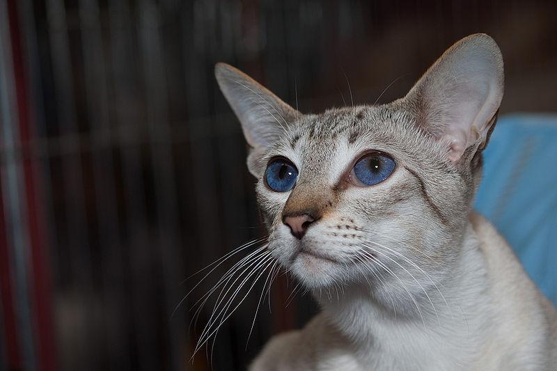 Blue Lynx Point Siamese Cats