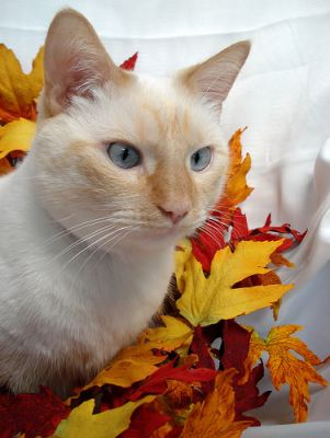 Websites Like Craigslist >> craigslist chicago for siamese cats or balinese