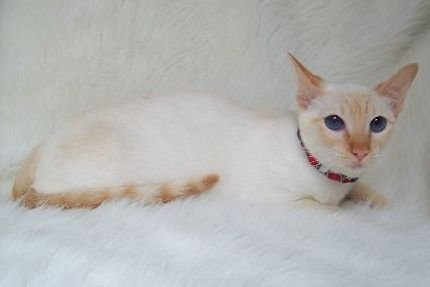 Image - Red Point Siamese lying.jpg - Dogs and Cats Wiki