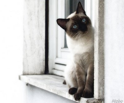 Traditional Siamese.jpg