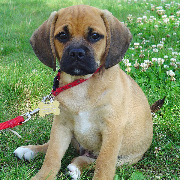 types of small house dogs