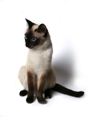 Siamese cat posing.jpg