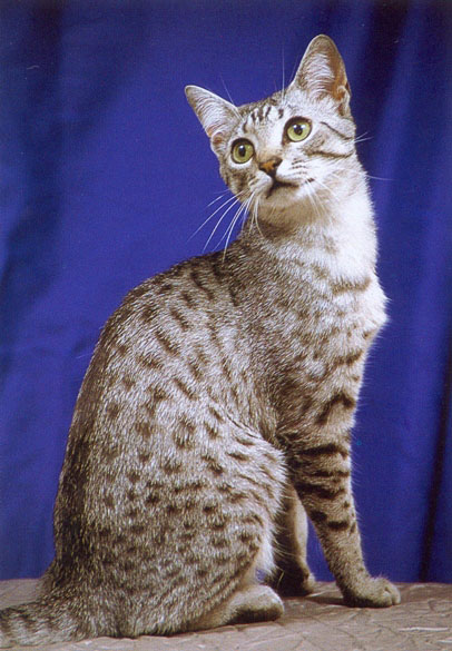 Egyptian Mau Cat 2.jpg