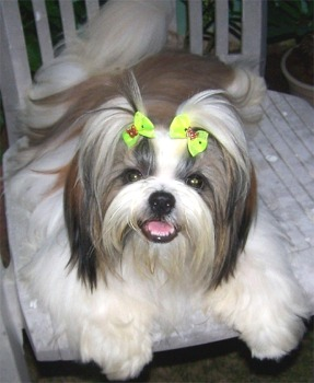 Shih Tzu Dogs and Cats Wiki