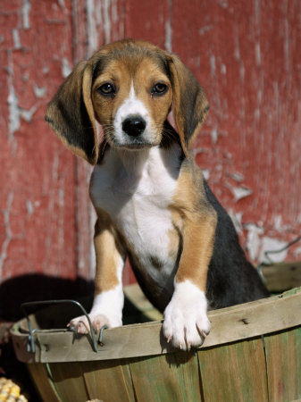 Beagle Puppies on Little Beagle Puppy Other Name S English Beagle Country