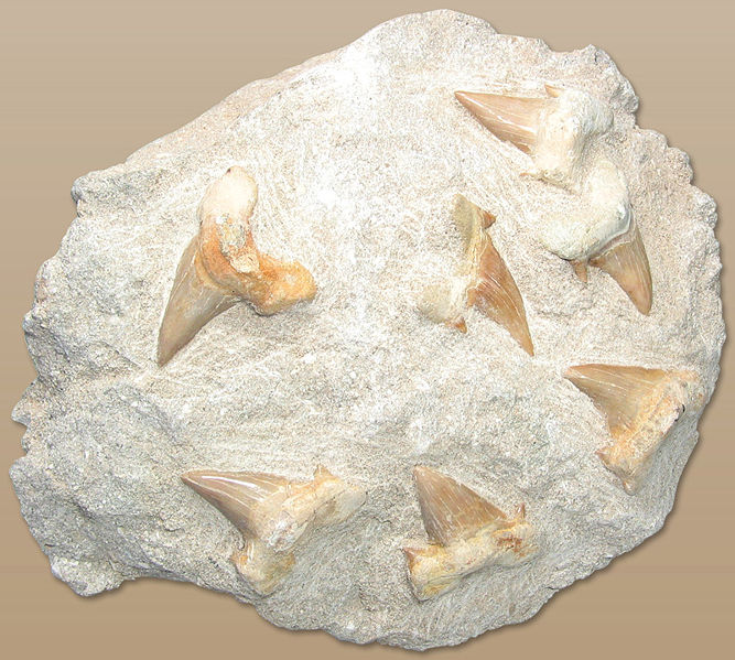 A group of Otodus obliquus teeth still in their original matrix.