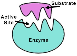 http://images.wikia.com/gcse/images/3/34/Enzyme.jpg