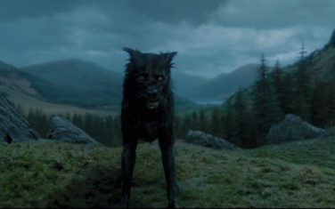 """Padfoot""(prisoner of Azkaban) in rescue - German Shepherd ..."