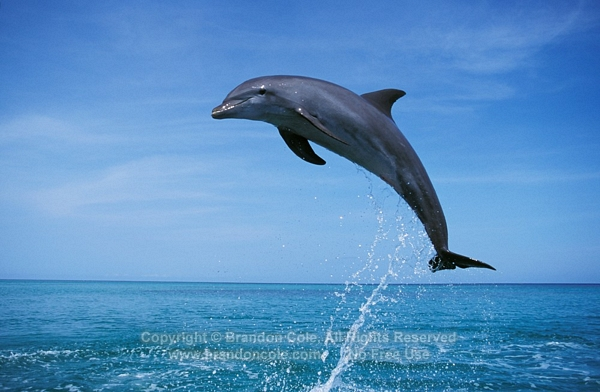 Dolphins jumping in the air