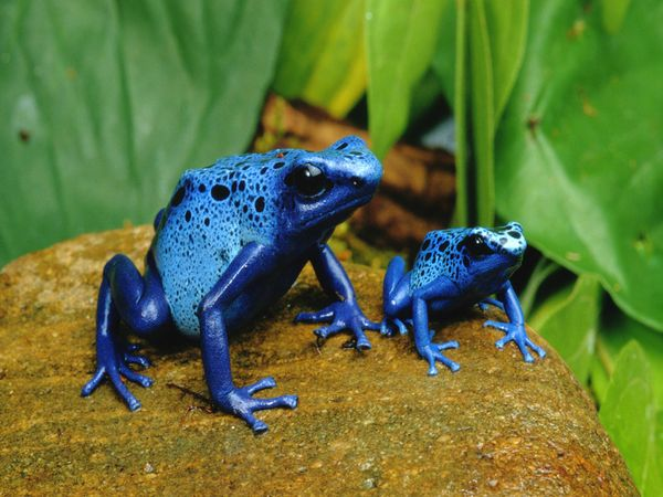 [Image: Blue_Poison_Dart_Frogs_Real.jpg]