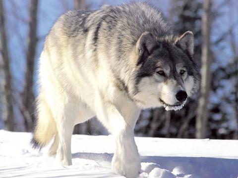 external image Gray-wolf.jpg