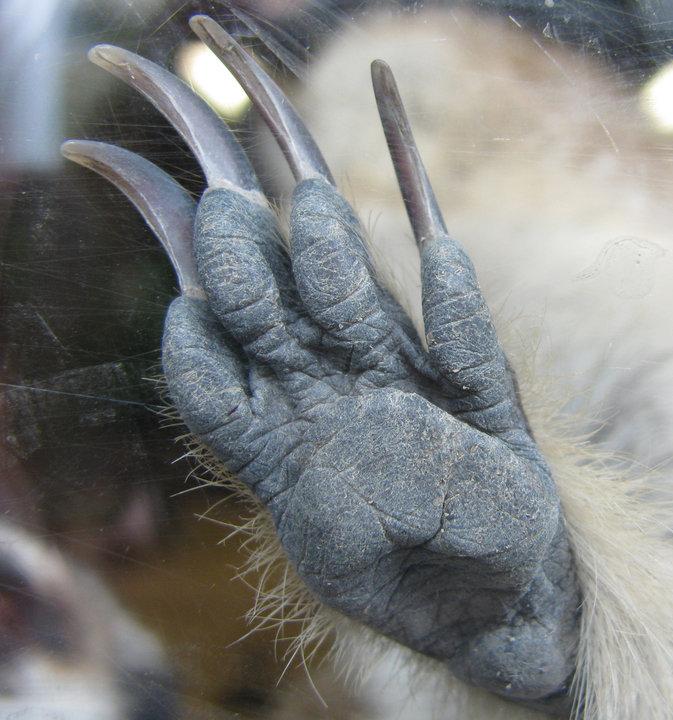 Meerkat Anatomy - Meerkats Wiki