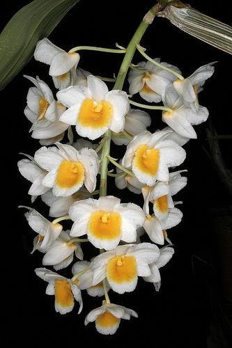 HOA VÀ THƠ - Page 27 Dendrobium_palpebrae