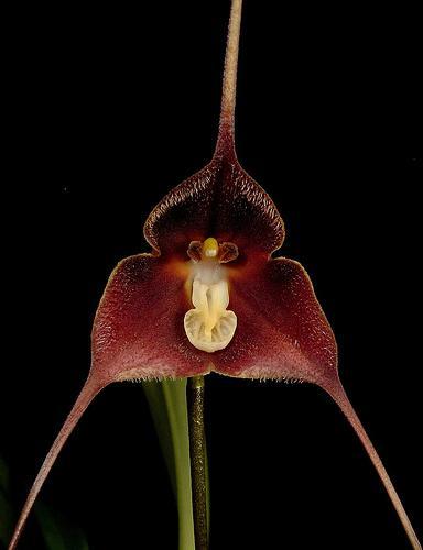 http://images.wikia.com/orchids/en/images/e/ed/Dracula_brangeri.jpg