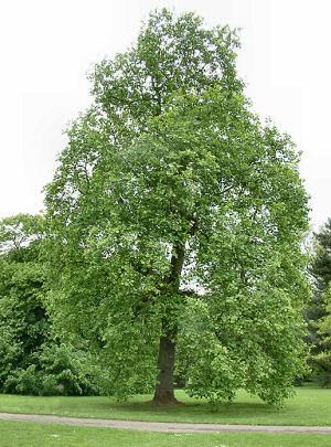 Poplar-tree.jpg
