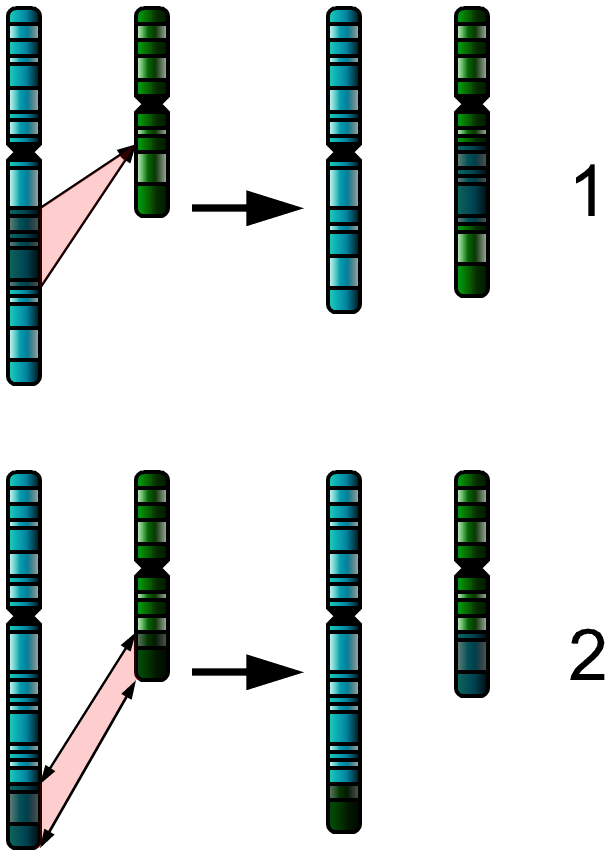 Chromosomal aberrations Edit Chromosomal aberrations section