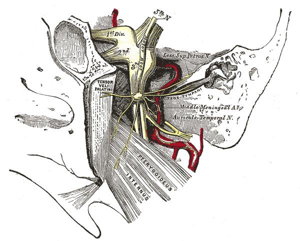 Tensor veli palatini muscle