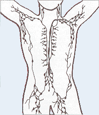 Lymphatic system - Psychology Wiki