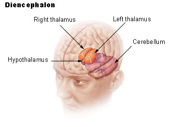 http://images.wikia.com/psychology/images/b/b2/Illu_diencephalon_.jpg