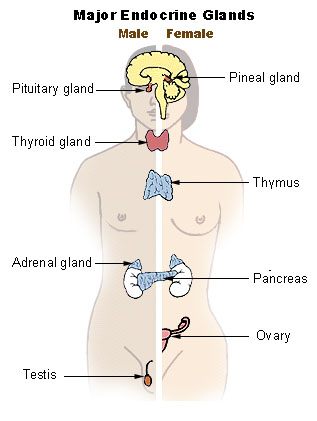 The major endocrine glands of the body.