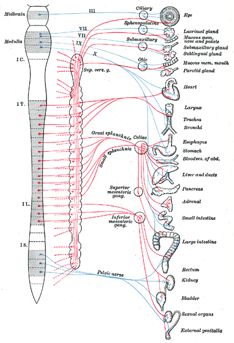 sympathetic and parasympathetic. Parasympathetic nervous system