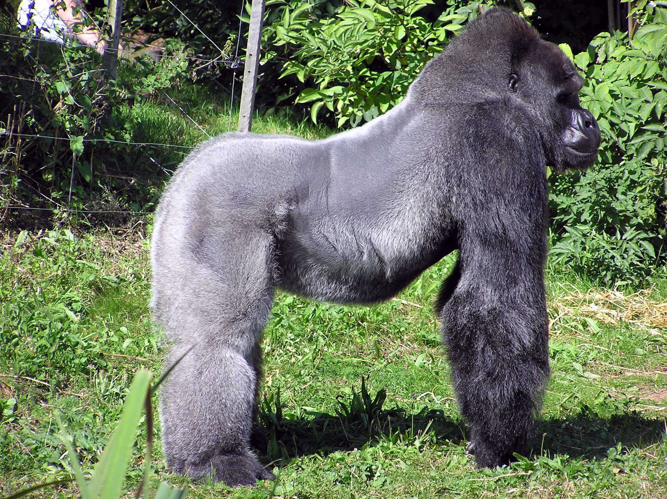 Help save the mountain gorilla