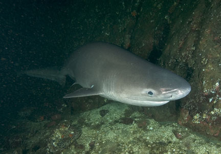 Sixgill Shark in Puget Sound