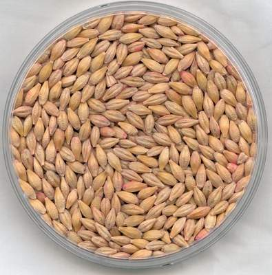 Barley - Recipes Wiki