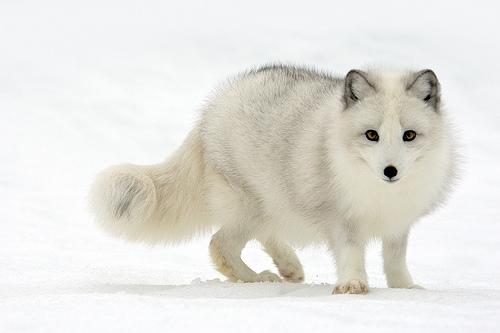 external image Arctic-Fox.jpg