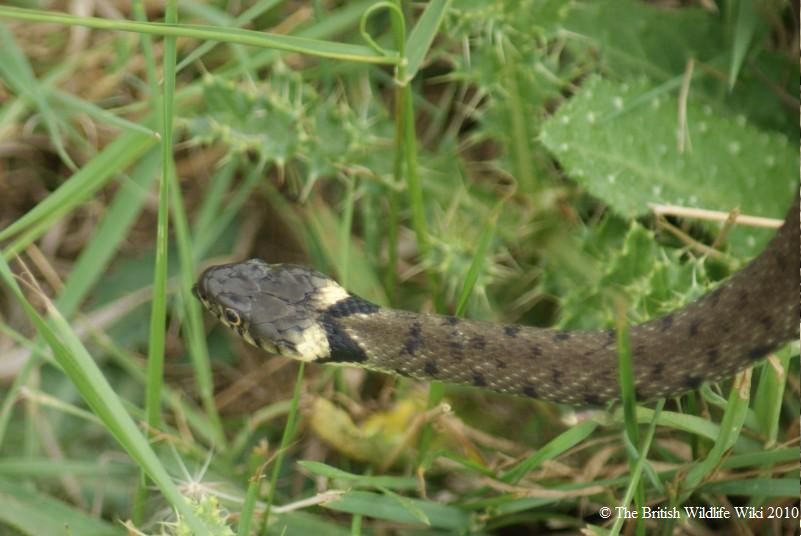 Pictures Of Snakes To Colour In. ringed snake. The colour