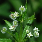 Herbs of the clans Catchweed