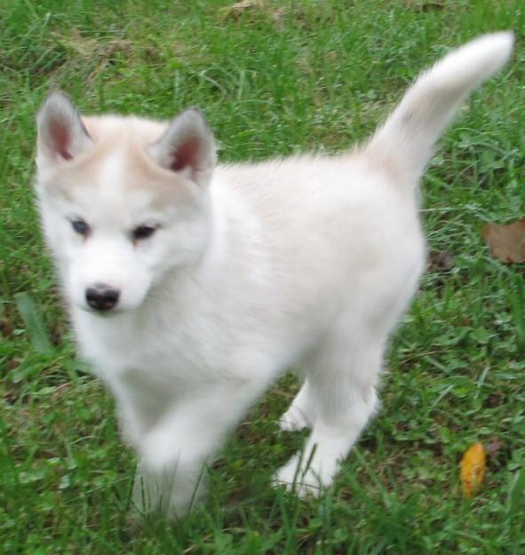 Husky perro bebé - Imagui