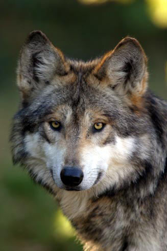 Seriw - Will do quick. Mexican-Wolf-2-large-detail