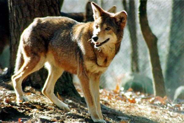 Image red wolf wolves of the beyond wiki
