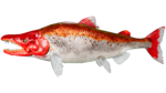 Salmon PaintRegion0.jpg