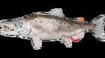 Salmon PaintRegion4.jpg