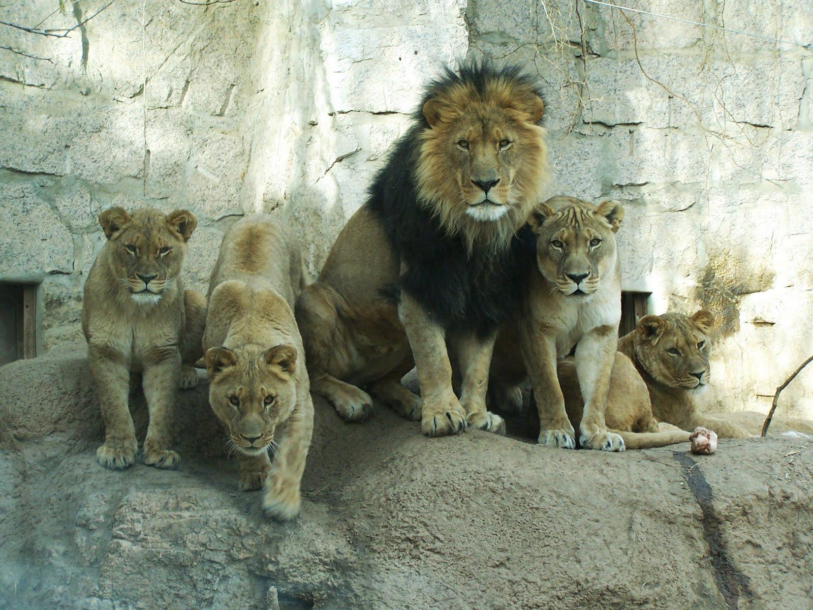 картинки один лев много львы учесть