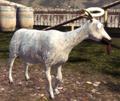 Angel Goat