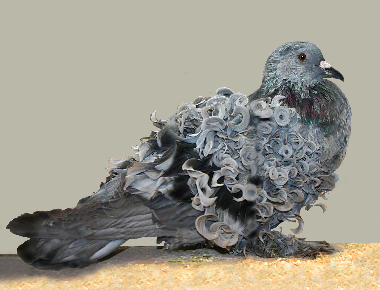 https://images.wikia.com/pigeons/images/b/b4/Frillback_pigeon.jpg