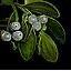 Tw3 mistletoe.png